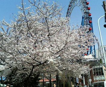 ドームの桜